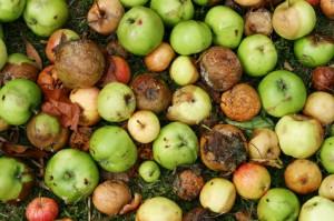 Cómo espantar moscas de las frutas_fruta podrida